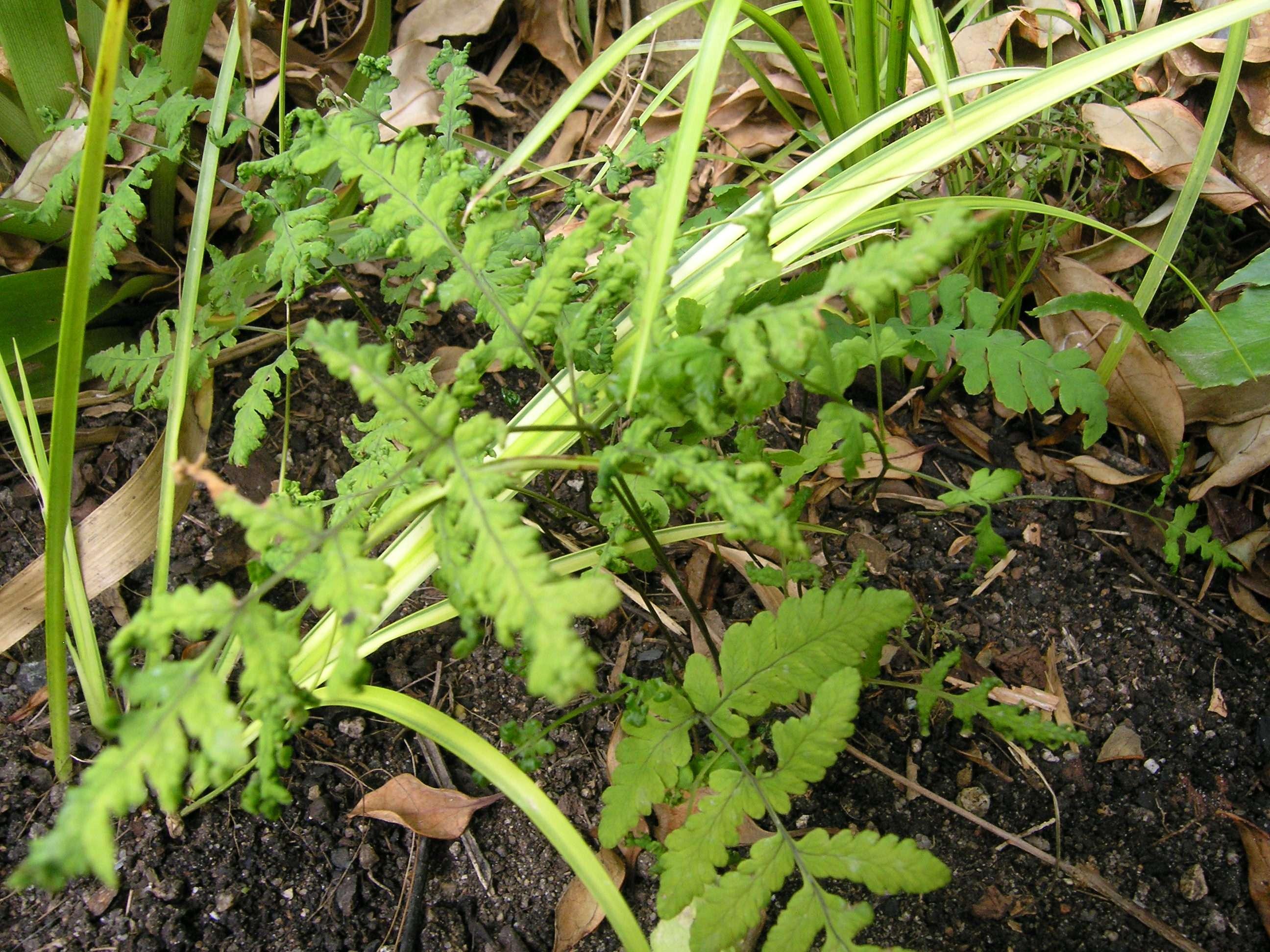 Gymnocarpium dryopteris 'Plumosum'